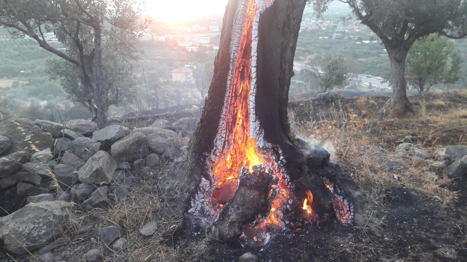 İzmir'de Orman Yangınında Zeytin Ağaçları Kül Oldu