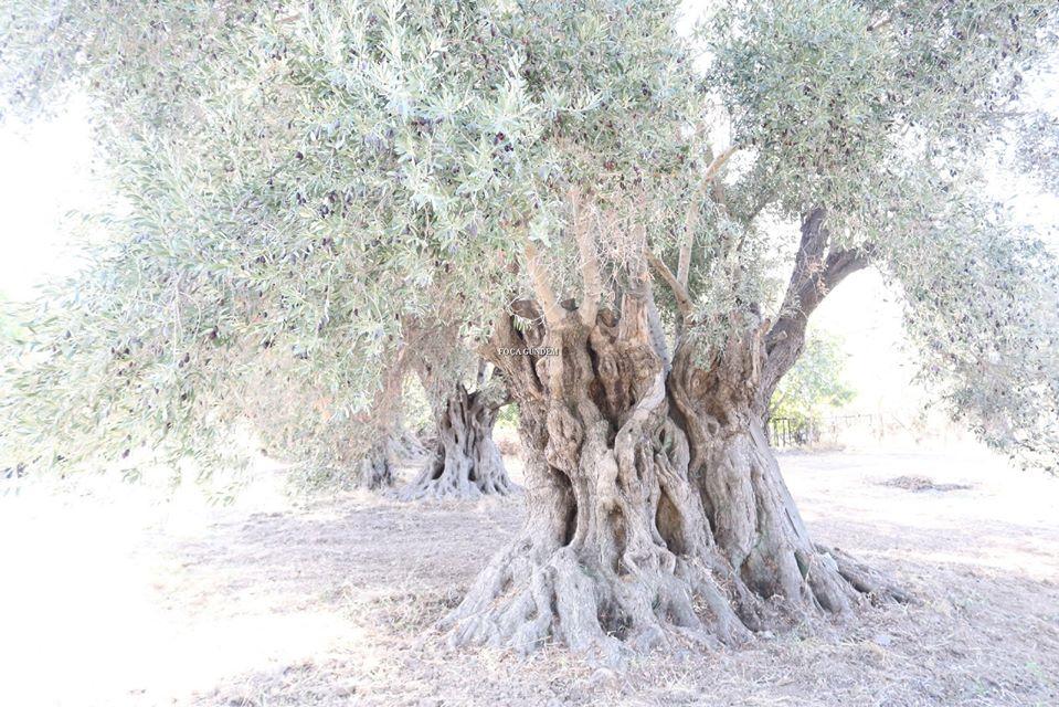 Foça'da Tarım Arazileri Ve Anıt Ağaçların Çevre Yoluna Kurban Edilmesine İsyan