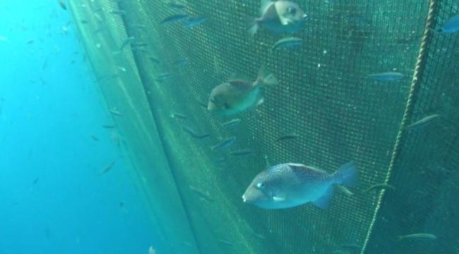 Egeli bilim insanları balık çiftliklerinin tuhaf misafirlerini araştırdı